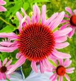 Porpur-Sonnenhut eller mer gemensam bekant som purpurfärgade Coneflower arkivfoto