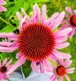 Porpur-Sonnenhut or more commonly known as Purple Coneflower stock photo