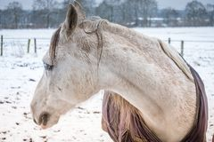 Girlfriend of horse Amigo. Porrait of a girlfriend of the horse Amigo in suburb of Hamburg.Snowfield Stock Image