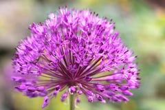 Porreeblume in einem botanischen Garten Lizenzfreies Stockbild