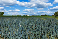 Porreefeld und der blaue Himmel Stockbilder