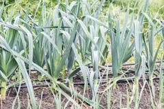 Porrees im Garten, Nahaufnahme lizenzfreie stockfotografie