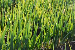 Porro giapponese Fotografie Stock