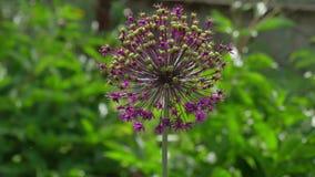 Porro gigante, porro di giganteum dell'allium, fiore Immagini Stock