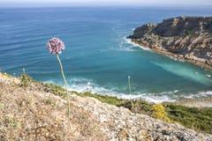 Porro selvaggio che cresce alle scogliere del capo di Espichel, Sesimbra, Portogallo Fotografia Stock Libera da Diritti