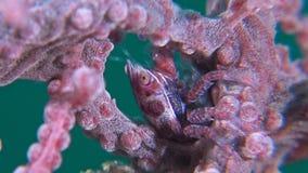 Porseleinkrab met eieren in een gorgonian koraal stock videobeelden