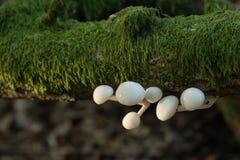 Porseleinpaddestoel het groeien op gevallen tak stock fotografie