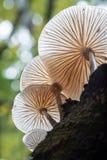 Porseleinpaddestoel op een beukboom in Padley-Kloof Stock Afbeelding