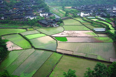 porslinbönder field riceworking Arkivfoton