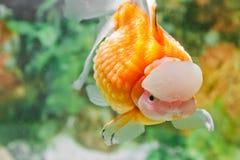 porslinguldfiskpearlscale Royaltyfri Fotografi