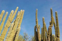 Portée de cactus pour le ciel Photos libres de droits