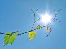 Portées de vigne pour le soleil Photographie stock libre de droits