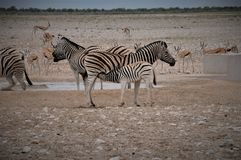 Port Elizabeth Baby Zebra de l'Afrique du Sud buvant par sa mère Image stock