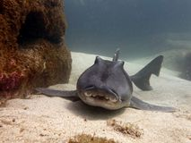 Port Jackson Shark Royaltyfri Foto