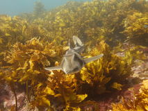 Port Jackson shark Stock Image