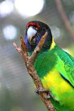 Port Lincoln Parrot no. 2 Stock Photo