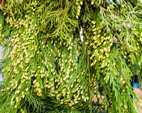 Port Orford Cedar boughs for decoration Royalty Free Stock Photography