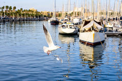 Port Vell at Sunset. Seagulls flying. Boat yachts and palm trees. Beautiful serene sight Rambla de Mar Barcelona, Spain Royalty Free Stock Photo