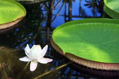 Victoria Amazonica con il fiore bianco Fotografie Stock