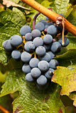 Port Wine Grapes on Vineyard Stock Photos
