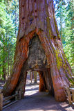 Porta da sequoia no bosque de Mariposa em Yosemite Califórnia imagens de stock