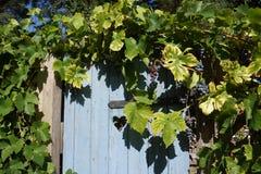 Porta de madeira azul no autum com uvas Imagem de Stock