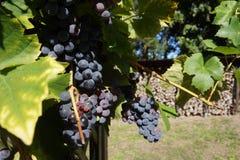 Porta de madeira azul no autum com uvas maduras Trauben Fotos de Stock Royalty Free