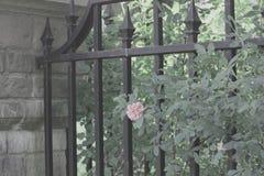 Porta do ferro com Rosa cor-de-rosa Foto de Stock