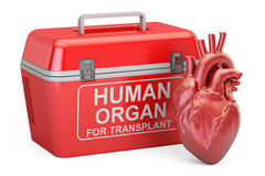Portable fridge for transporting donor organs with human heart, Stock Image