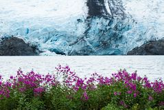 Portage-Gletscher über Feld der rosa Edelwicke blüht Stockbilder