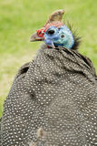 Portaiit of a Guineafowl Stock Photography