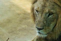 Portait ενός λιονταριού Στοκ εικόνες με δικαίωμα ελεύθερης χρήσης