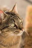 Portait кота tabby Стоковое Фото
