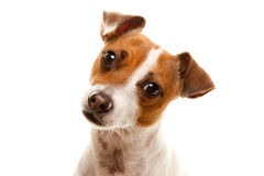 Portait of an Adorable Jack Russell Terrier Royalty Free Stock Photo