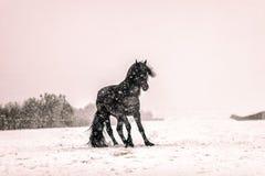 Portrait of black stallion in winter. stock images