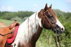 Portait of beautiful paint horse stallion Royalty Free Stock Image