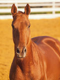 Portait of beautiful red horse Stock Image