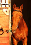 Portait of beautiful red horse in door Stock Photos