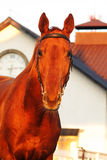 Portait of beautiful red horse near white stable Royalty Free Stock Photography