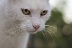 Portait blanc de chat Photo stock