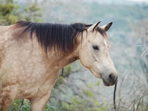 Portait of buckskin  horse at freedom Stock Photos