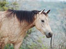 Portait of buckskin  horse at freedom Stock Photos