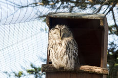 Portait of a Captive Ural Owl Perched on the Entrance to its Hid. A portrait of an Ural Owl perched on the entrance of it hide or bird box. Latin name Strix royalty free stock image