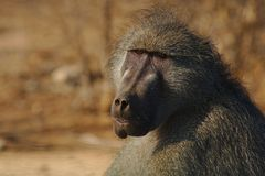 Portait of a Baboon & x28;Papio ursinus& x29; sitting at the edge of the bush, Kruger National Park, South Africa. royalty free stock photos
