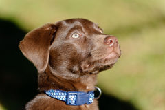 Portait of a chocolate lab puppy. A Chocolate Labrador Retriever puppy portrait in the park royalty free stock images