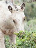Portait of cream foal at freedom. Stock Photography