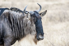 Portait d'un Wildebeest - gnu - dans le serengeti images stock