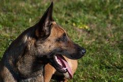 Portait de chien - berger belge Images libres de droits