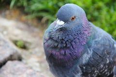Portait de pigeon photographie stock