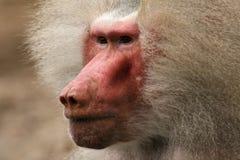 Portait de um babuíno foto de stock